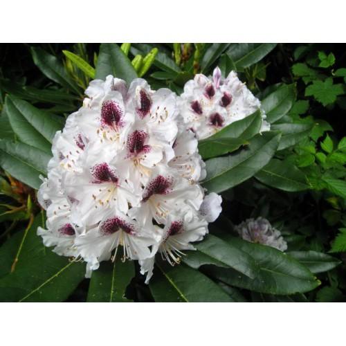 Rhododendron RÓŻANECZNIK