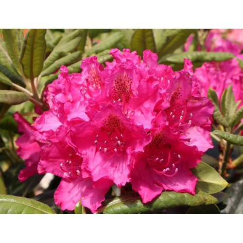 Rhododendron RÓŻANECZNIK PEARE'S AMERICAN 30-40 cm