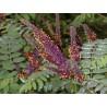 Amorfa krzewiasta do ogrodu indygowiec - krzew