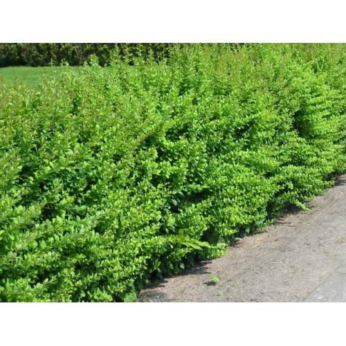 BERBERYS ZIELONY GREEN CARPET 60cm