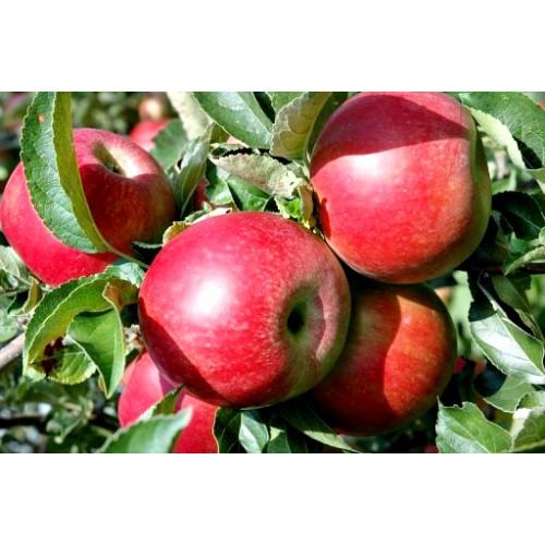 Jabłoń Idared wcześnie obficie owocuje