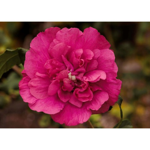 Ketmia, hibiskus syryjski 15-30 cm