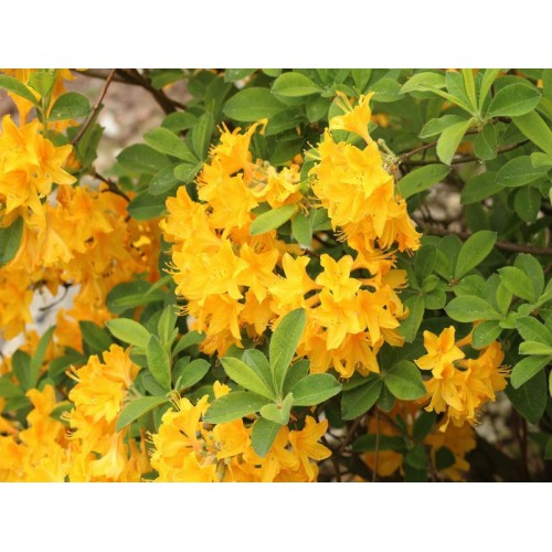 Azalia Goldtopas 30-40 cm