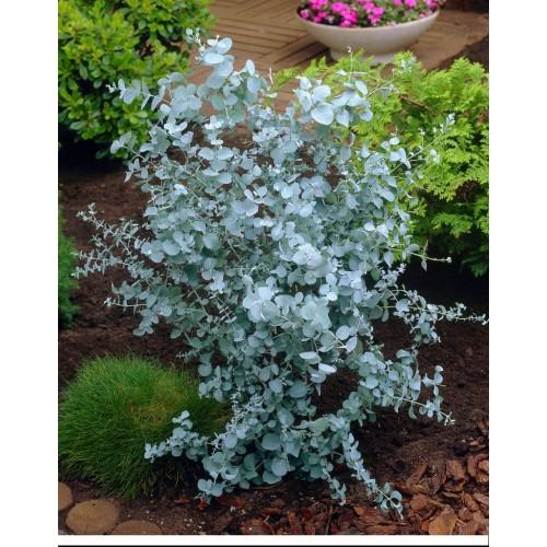 Eukaliptus górski Zilverdruppel 20-40 cm(D)