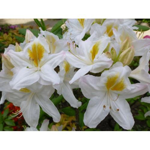 Azalia wielkokwiatowa 30-70 cm