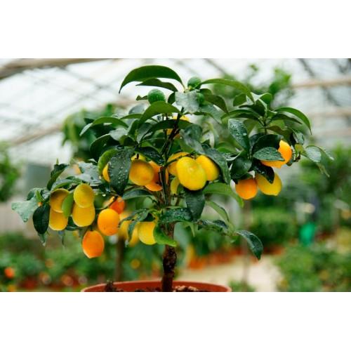 Kalamondyna cytrus drzewo  łać. Citrus Mitis