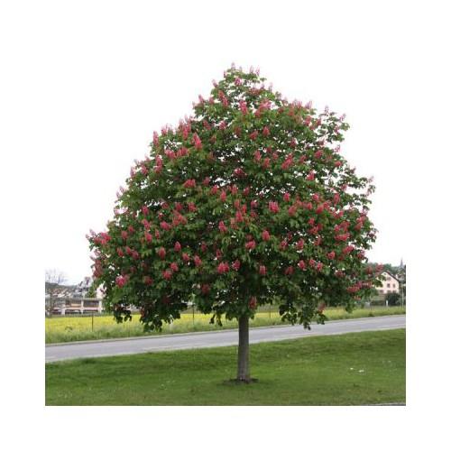 Kasztanowiec czerwony zwyczajny 60-80 cm