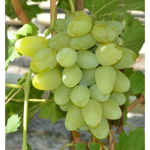 Winorośl Monarch - bardzo duży owoc łać. Vitis Monarch