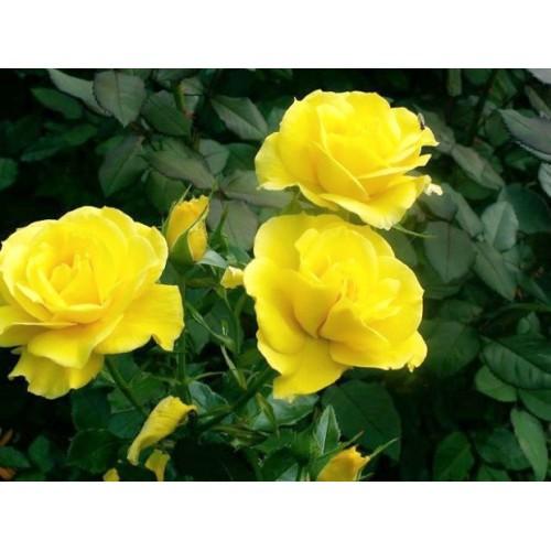 Róża rabatowa żółta
