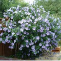 Hibiskus Fioletowy  60-80 cm CM  DONICA  0,8L