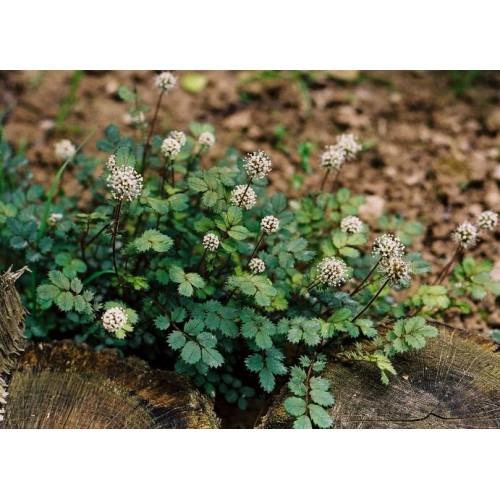 acena drobnolistna (łac.Acaena microphylla)
