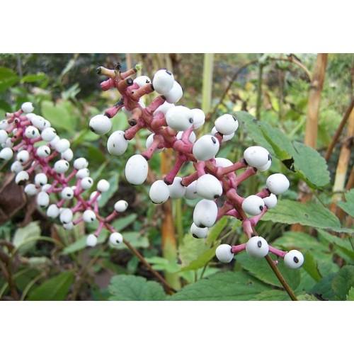 czerniec grubopędowy(łac. Actaea alba)