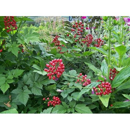 czerniec czerwony(łac.Actaea rubra)