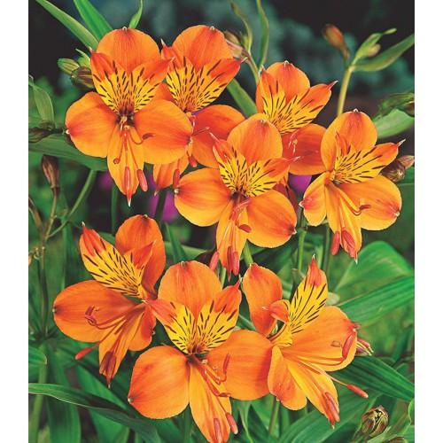 alstremeria pomarańczowa (łac.Alstroemeria aurea)
