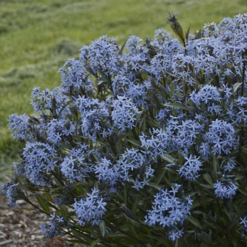 amsonia 'Blue Ice'(łac.Amsonia 'Blue Ice')