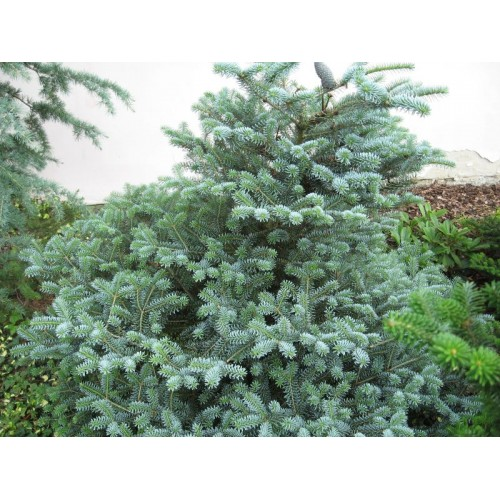 jodła koreańska 'Bonsai Blue' (łac.Abies koreana 'Bonsai Blue')