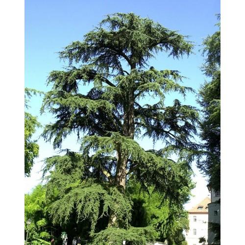 cedr libański podgat. atlantycki (łac.Cedrus libani subsp. atlantica)