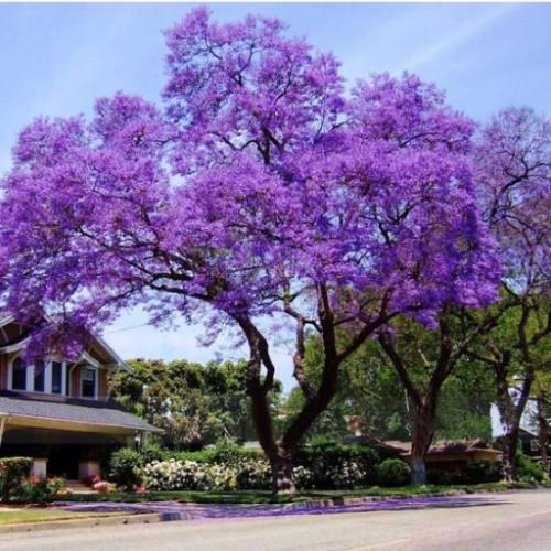 Paulownia Cesarskie drzewo szczęścia