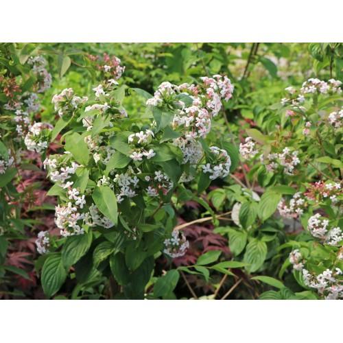 abelia mosańska (łac.Abelia mosanensis)