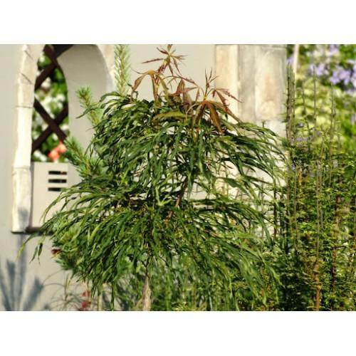 klon pospolity 'Paldiski' (łac.Acer platanoides 'Paldiski')