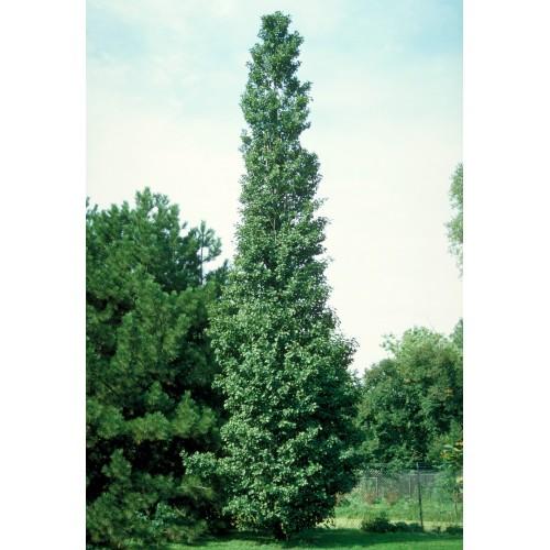olsza czarna 'Pyramidalis' (łac.Alnus glutinosa 'Pyramidalis')