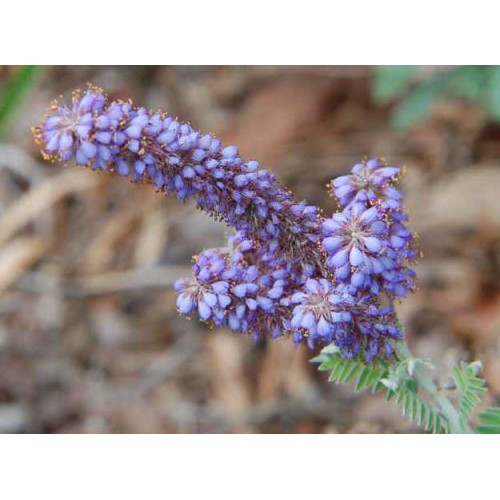 amorfa szara (łac.Amorpha canescens)