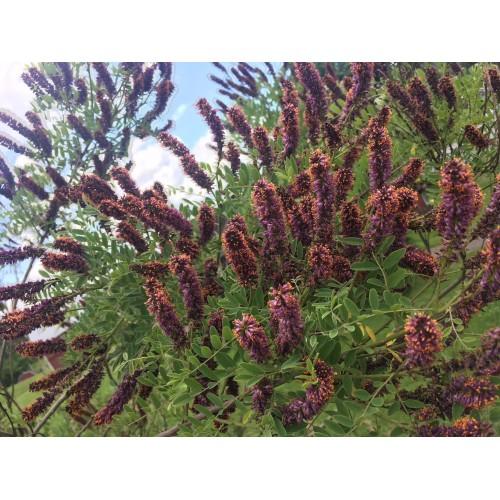 amorfa krzewiasta (łac.Amorpha fruticosa)