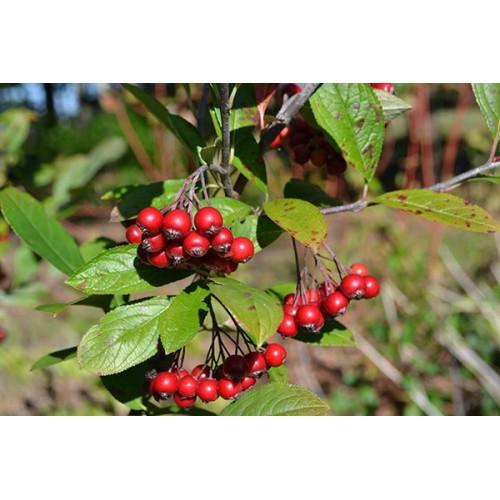 aronia czerwona ( łac.Aronia arbutifolia)