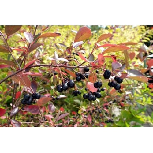 aronia czarnoowocowa 'Hugin' (łac.Aronia melanocarpa 'Hugin')
