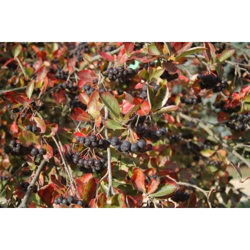 aronia śliwolistna (łac.Aronia ×prunifolia)