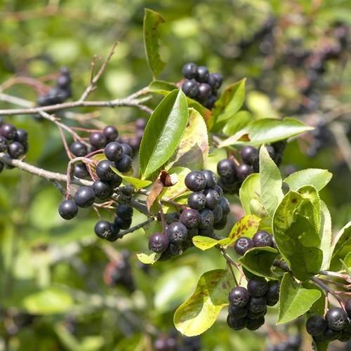 aronia śliwolistna 'Viking' (łac.Aronia ×prunifolia 'Viking')