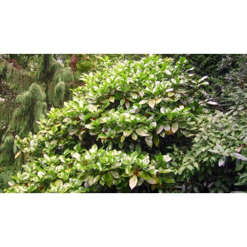 aukuba japońska (łac.Aucuba japonica)