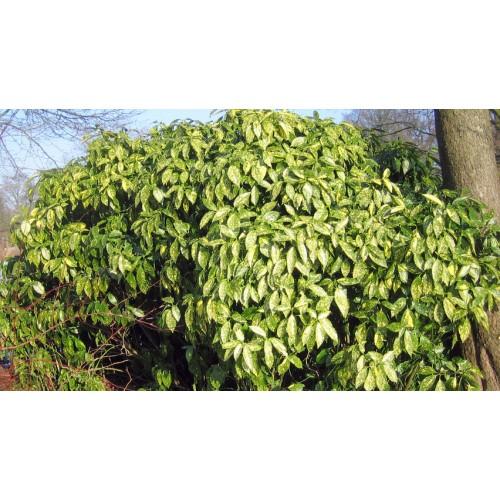 aukuba japońska 'Variegata' (łac.Aucuba japonica 'Variegata')