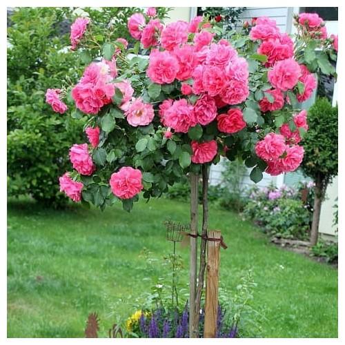 Róża pnąca Rosalium