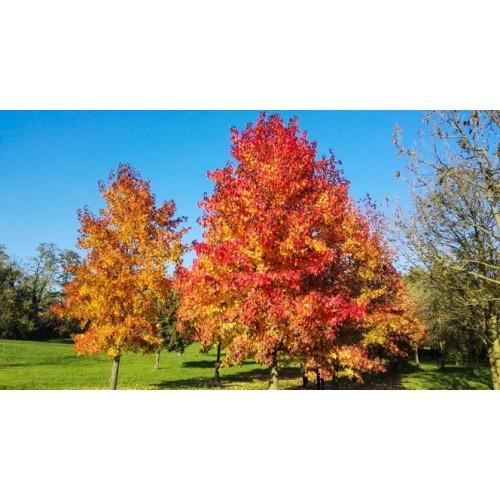 klon czerwony (łac.Acer rubrum)