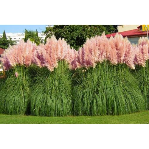 Trawa pampasowa Roze Pluim