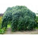 Buk Płaczący Pendula Zielony Szczepiony na pniu 110-150 cm