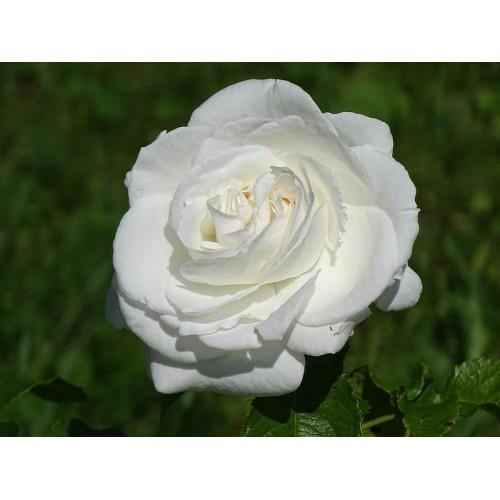 Róża rabatowa MIX KOLORÓW 40-60CM K.