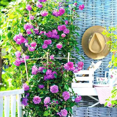 Róże pnące MIX KOLORÓW K. 40-60CM