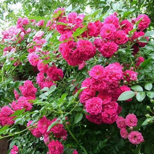 Róża pnąca MIX KOLORÓW 30-50cm K