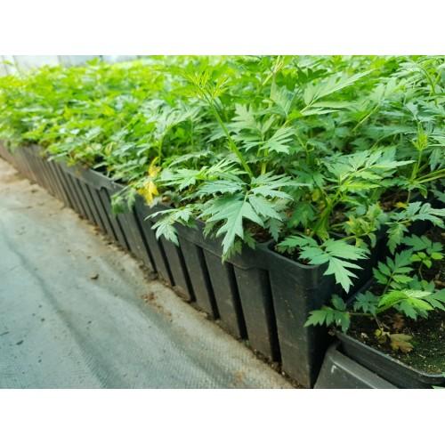 Jeżyna bezkolcowa Thornless Evergreen (sadzonka z kasety) HURT