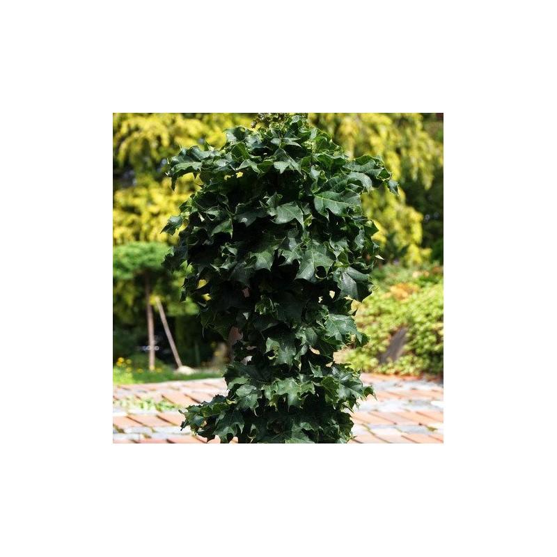 klon kulisty czerwony szczepiony - drzewko na pniu