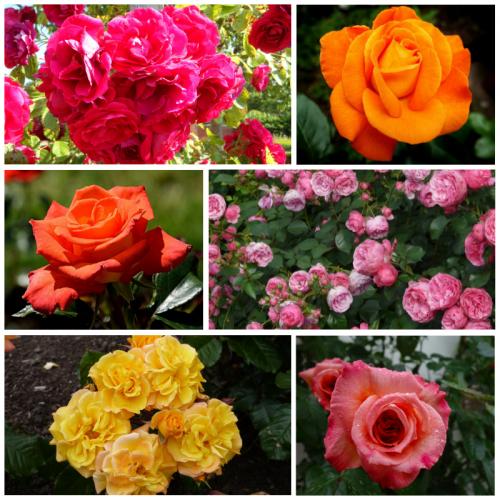 Róża pnąca MIX KOLORÓW 40-60CM DONICA 3L