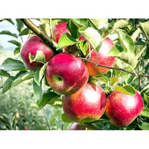 Jabłoń Delikatesowa
