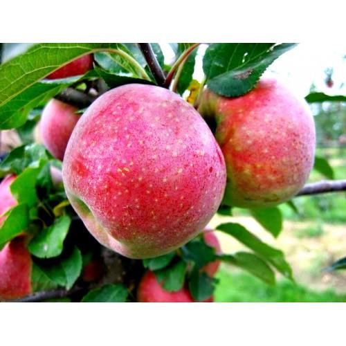Jabłoń FLORINA PARCHOODPORNA