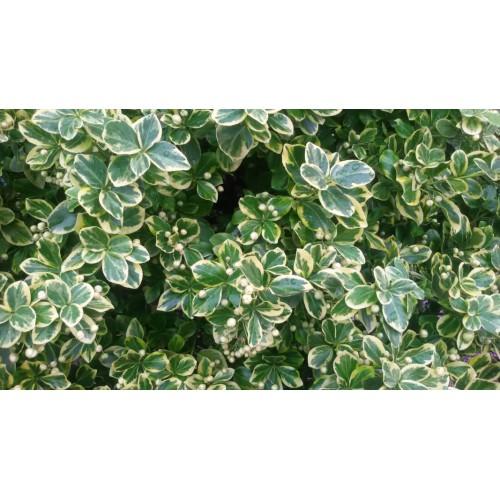 Trzmielina Fortune'a  'Emerald Gaiety' zielona na pniu szczepiona 110-130CM T02