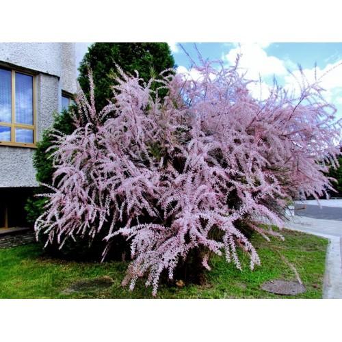 Tamaryszek Różowa Chmura  60-100 cm 3L
