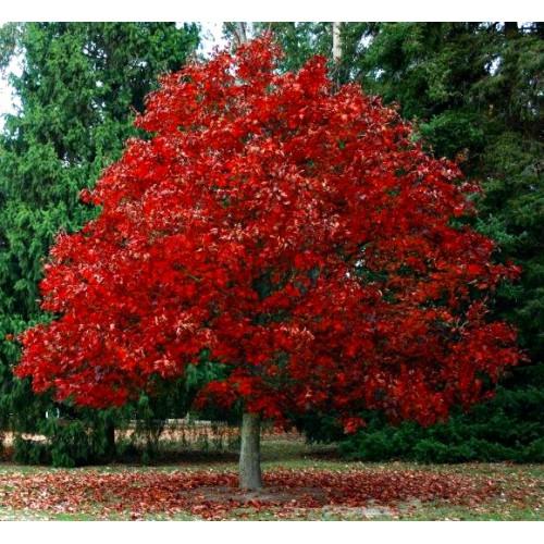Dąb CZerwony Quercus rubra Dekoracyjny 70-80 cm