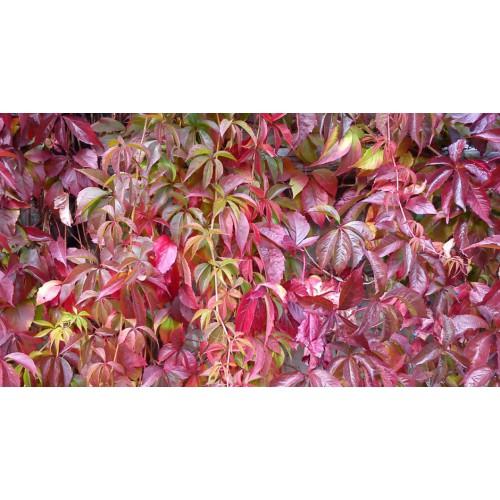 Winobluszcz Pięciolistkowy Pięcioklapowe pnącze K. 60-120 CM
