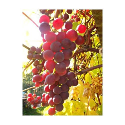 winogron różowy ISABELLA sadzonka